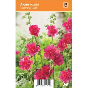 """Stokroos (alcea rosea """"Carmine Rose"""") zomerbloeier"""