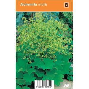 Vrouwenmantel (alchemilla mollis) zomerbloeier