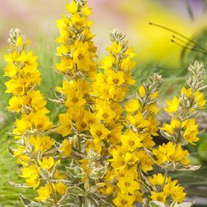 "Bont moeras (Lysimachia ""variegata"") moerasplant"