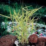 "Bont riet (Phragmites Australis ""variegata"") moerasplant"
