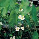 Breed pijlkruid (Sagittaria latifolia) moerasplant