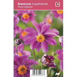 "Herfstanemoon (anemone hupehensis ""Prinz Heinrich"") najaarsbloeier"