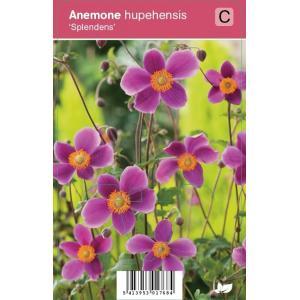 "Herfstanemoon (anemone hupehensis ""Splendens"") najaarsbloeier"