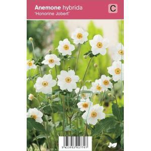 "Herfstanemoon (anemone hybrida ""Honorine Jobert"") najaarsbloeier"