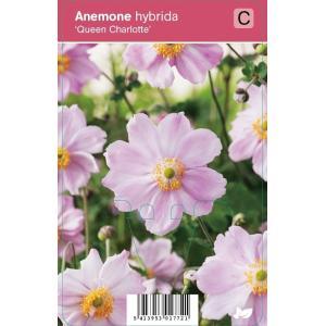 """Herfstanemoon (anemone hybrida """"Queen Charlotte"""") najaarsbloeier"""