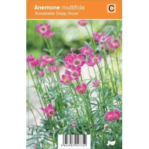 "Anemoon (anemone multifida ""Annabella Deep Rose"") zomerbloeier"