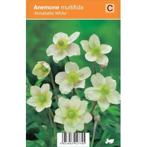 "Anemoon (anemone multifida ""Annabelle White"") zomerbloeier"
