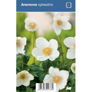 Anemoon (anemone sylvestris) schaduwplant - 12 stuks