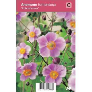 "Herfstanemoon (anemone tomentosa ""Robustissima"") najaarsbloeier"