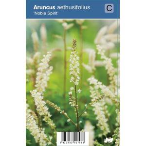 "Geitenbaard (aruncus aethusifolius ""Noble Spirit"") schaduwplant"