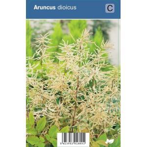 Geitenbaard (aruncus dioicus) schaduwplant