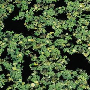 Kleine kroosvaren (Azolla cristata) drijfplant - 10 stuks