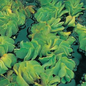 Kleine vlotvaren (Salvinia Natans) drijfplant - 10 stuks