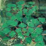 Waternoot (Trapa natans) drijfplant