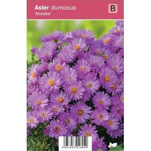 """Aster (aster dumosus """"Anneke"""") najaarsbloeier"""