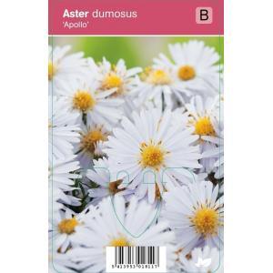 "Aster (aster dumosus ""Apollo"") najaarsbloeier"
