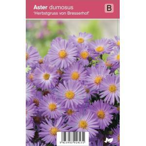 "Aster (aster dumosus ""Herbstgruss vom Bresserhof"") najaarsbloeier"