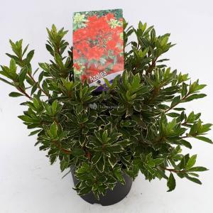 "Rododendron (Rhododendron Japonica ""Hotshot Variegata"") heester - 30-35 cm - 1 stuks"