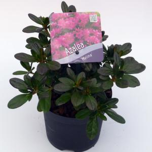 """Rododendron (Rhododendron Japonica """"Melina"""") heester - 15-20 cm - 8 stuks"""
