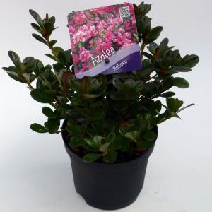 Korting Rododendron (Rhododendron Japonica Rokoko ) heester 15 20 cm 8 stuks