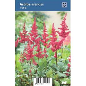 """Pluimspirea (astilbe arendsii """"Fanal"""") schaduwplant"""
