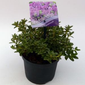 "Dwerg rododendron (Rhododendron Calostrotum ""Keleticum"") heester - 15-20 cm - 8 stuks"