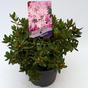 Korting Dwerg rododendron (Rhododendron Ramapo ) heester 20 25 cm 1 stuks