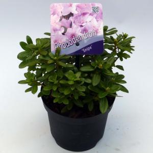 Dwerg rododendron (Rhododendron Snipe) heester - 15-20 cm - 8 stuks