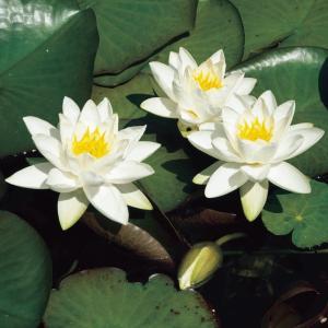 Witte dwergwaterlelie (Nymphaea Tetragona) waterlelie - 6 stuks