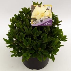 Dwerg rododendron (Rhododendron Golden Wonder) heester
