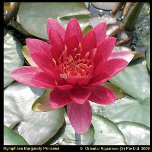 Rode waterlelie (Nymphaea Burgundy Princess) waterlelie - 6 stuks