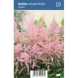 """Pluimspirea (astilbe simplicifolia """"Sprite"""") schaduwplant"""