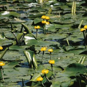 Gele plomp (Nuphar lutea) waterlelie - 6 stuks