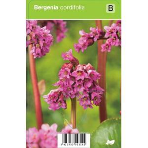 Schoenlappersplant (bergenia cordifolia) voorjaarsbloeier 12 stuks