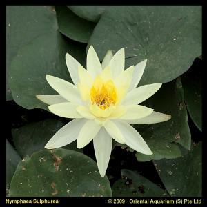 Gele waterlelie (Nymphaea Sulphurea) waterlelie - 6 stuks