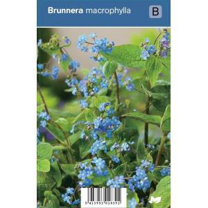 Kaukasisch vergeet-mij-nietje (brunnera macrophylla) schaduwplant