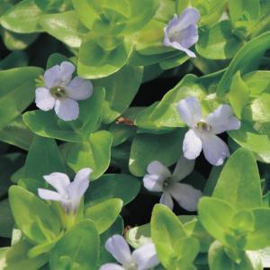 Brede bacopa (Bacopa caroliniana) zuurstofplant