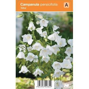 "Klokjesbloem (campanula persicifolia ""Alba"") zomerbloeier"