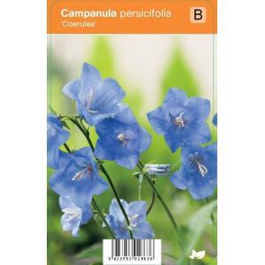 """Klokjesbloem (campanula persicifolia """"Coerulea"""") zomerbloeier"""