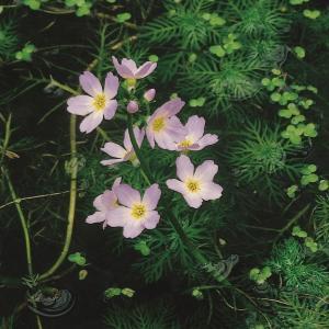 Waterviolier (Hottonia palustris) zuurstofplant - 10 stuks