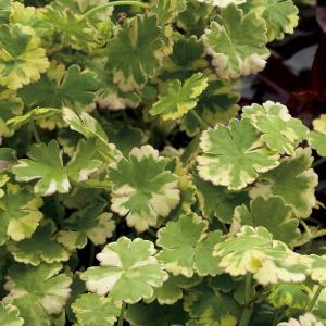"Bonte waternavel (Hydrocotyle sib. ""Variegata"") zuurstofplant"