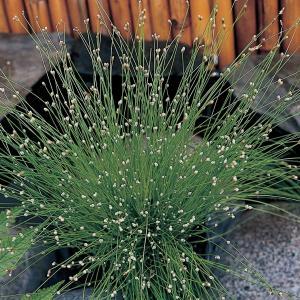 Naaldgras (Scirpus cernuus) zuurstofplant