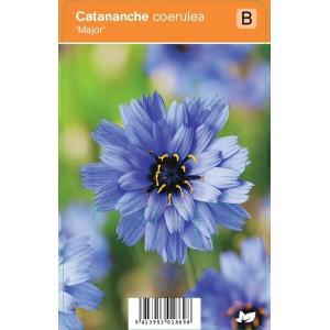 """Blauwe strobloem (catananche caerulea """"Major"""") zomerbloeier"""
