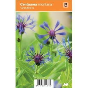 """Korenbloem (centaurea montana """"Grandiflora"""") zomerbloeier"""
