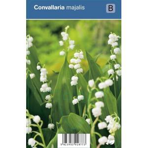 Lelietje-van-dalen (convallaria majalis) schaduwplant