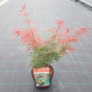 Dagaanbieding - Japanse esdoorn (Acer palmatum