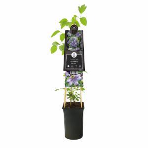 "Blauwe bosrank (Clematis ""Blue Light"" PBR) klimplant"