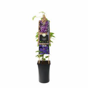 Paarse bosrank (Clematis Jackmanii) klimplant - 70 cm - 1 stuks