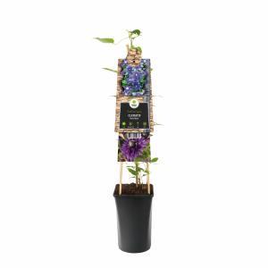 """Blauwe bosrank (Clematis """"Multi Blue"""") klimplant"""