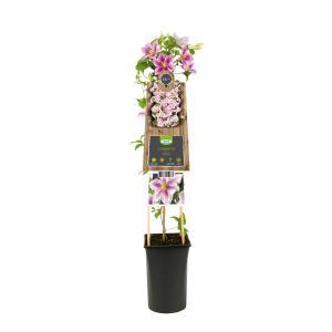 Roze bosrank (Clematis Piilu) klimplant